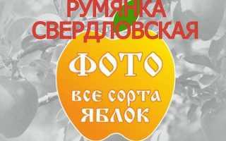 Яблоня Румянка Свердловская — описание сорта, фото, отзывы