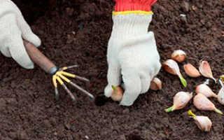 Сроки посадки семейного чеснока под зиму