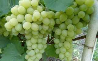Виноград Галахад: описание сорта, фото и отзывы садоводов