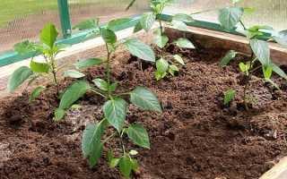 Растущие перцы в теплице: посадка, уход, втулка