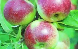 Яблоня Юный Натуралист — описание сорта, фото, отзывы