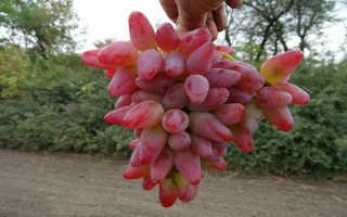 Виноград Оригинал: описание сорта, фото и отзывы садоводов
