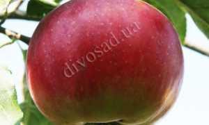 Яблоня Джумбо Помм — описание сорта, фото, отзывы