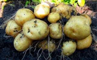 Картофель Импала — описание сорта, фото, отзывы, посадка и уход