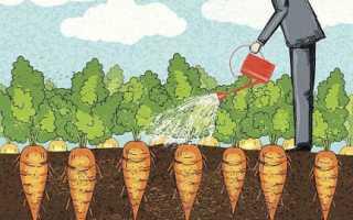 Как поливать морковь в августе?