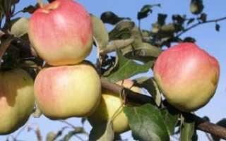 Яблоня Горный Синап — описание сорта, фото, отзывы
