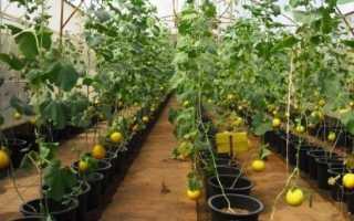 Как вырастить дыню на Урале в теплице?