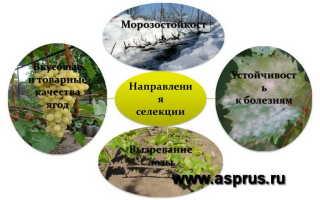 Лучшие сорта винограда для Саратовской области с фото и описанием