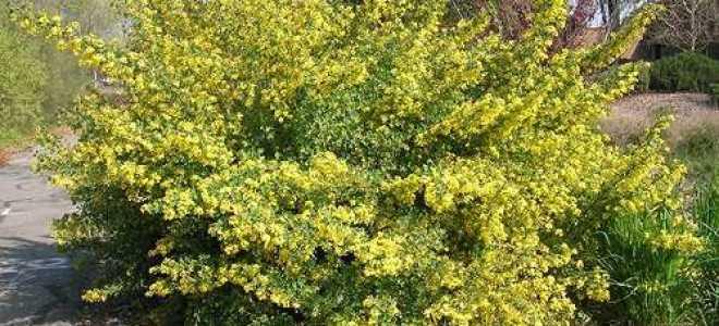 Смородина Золотистая — описание сорта, фото, отзывы