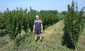 Алыча Колоновидная Мирабелла — описание сорта, фото и отзывы садоводов