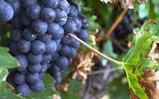 Как ухаживать за виноградом в первый год посадки?