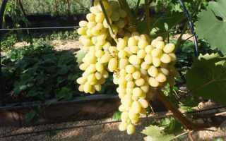 Виноград Триумф: описание сорта, фото и отзывы садоводов