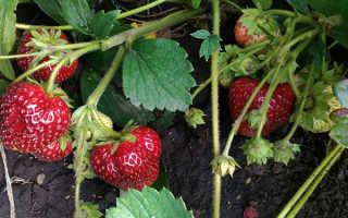 Земляника Любаша: выращивание, описание сорта, фото и отзывы