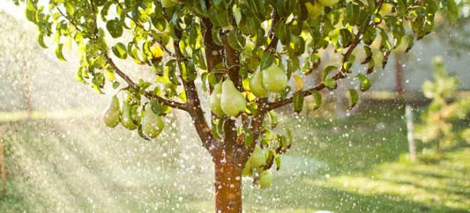 Уход за грушей: секреты садоводов