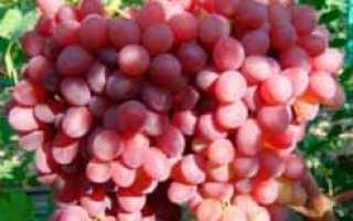 Виноград Розмус: описание сорта, фото и отзывы садоводов