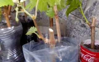 Виноград из черенков: посадка и уход