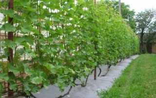 Посадка и уход винограда в открытом грунте