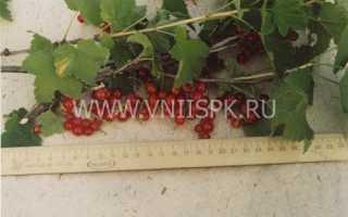 Сорта красной смородины