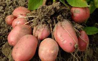 Картофель Ароза — описание сорта, фото, отзывы, посадка и уход