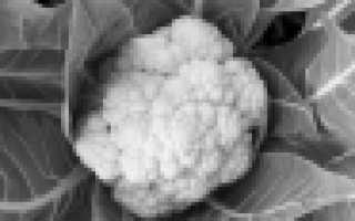 Капуста Розовая — описание сорта, фото, отзывы, посадка и уход