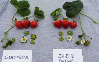 Земляника Эви 2: выращивание, описание сорта, фото и отзывы