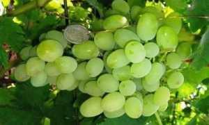 Лучшие сорта винограда для Черноземья с фото и описанием