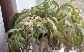 Падение и увядание листьев в декабре: каковы причины, болезни, вредители?