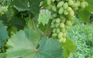 Комплексно устойчивые сорта винограда с описанием и фото