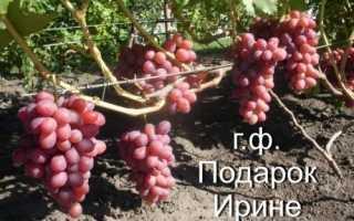 Виноград Подарок Ирине: описание сорта, фото и отзывы садоводов
