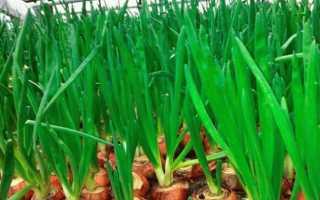 Выращивание лука на зелень в открытом грунте — посадка и уход