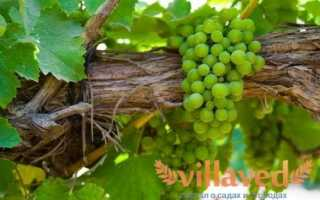 Виноград Мускат Янтарный: описание сорта, фото и отзывы садоводов