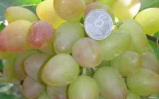 Виноград Багровый: описание сорта, фото и отзывы садоводов