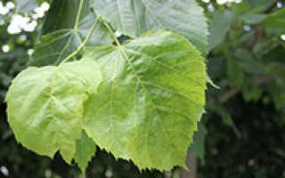 Почему листья у яблони бледно зеленые?