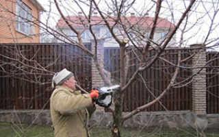 Правильные схемы обрезки сливовых деревьев: весенняя, летняя и осенняя обрезка – Дом и сад