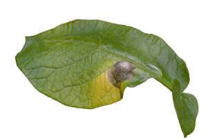 Альтернариоз картофеля и лечение