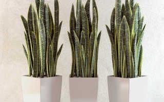 Как вырастить и размножить щетинохвостый цветок в домашних условиях?