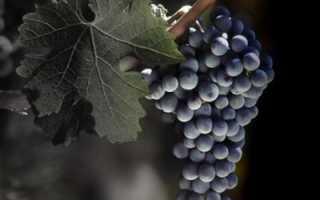 Виноград Страшенский: описание сорта, фото и отзывы садоводов