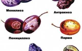 Самые опасные болезни и вредители алычи