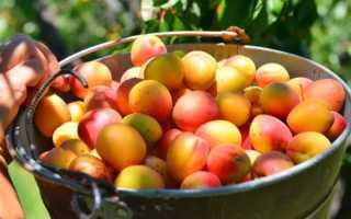 Опыление абрикоса — как происходит?