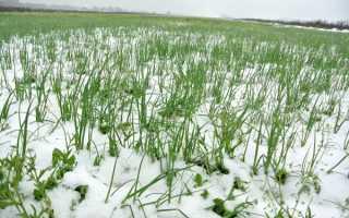 Когда садить зимний лук в Сибири?