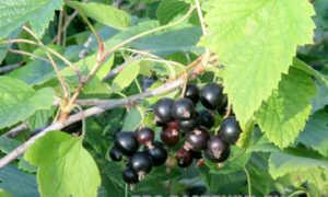 Лучшие сорта черной смородины для Ленинградской области