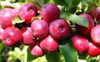 Яблоня Воспитанница — описание сорта, фото, отзывы