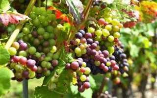 Если виноград не вызрел, что с ним делать?