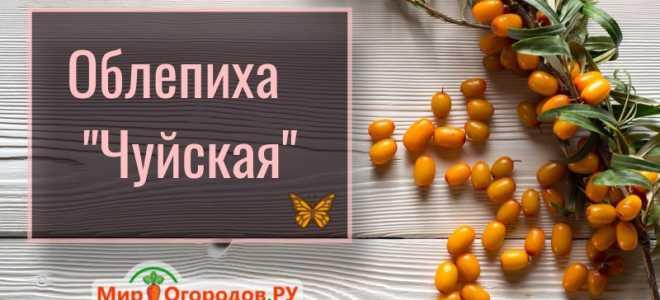 Облепиха Чуйская — описание сорта, фото и отзывы садоводов