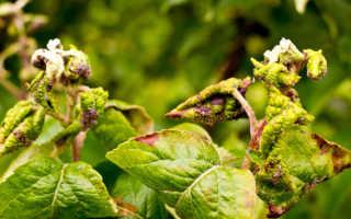 Тля на вишне: как бороться и чем лечить листья в мае