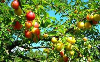 Алыча Ксения — описание сорта, фото и отзывы садоводов