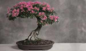 Сакура бонсай: как вырастить японский бонсай из семян японской сакуры в домашних условиях? В какую почву лучше сажать дерево? Как правильно за ней ухаживать?