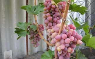 Виноград Азалия: описание сорта, фото и отзывы садоводов