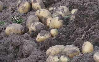 Когда убирать картофель в Сибири?