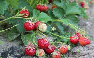 Земляника Кокетка ремонтантная крупноплодная: выращивание, описание сорта, фото и отзывы